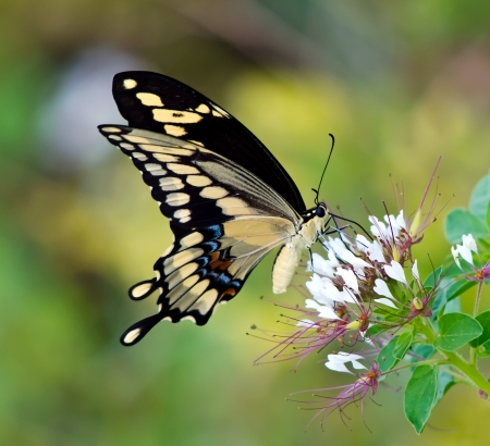 butterfly on flower: Giant Swallowtail butterfly  Papilio cresphontes  Stock Photo