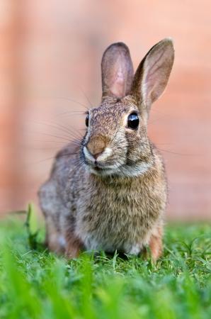 Curious looking cottontail bunny rabbit