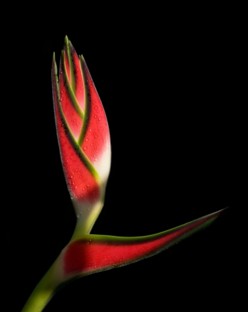 heliconia: Tropical Heliconia flower on black background Stock Photo