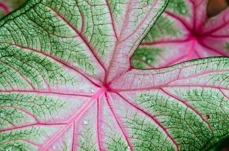 Caladium leaf detail Stock Photo - 15384524