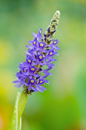 Blooming Pickerelweed (Pontederia cordata) water plant
