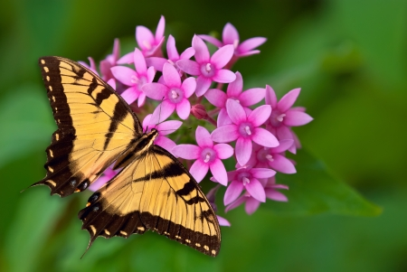 Tiger Swallowtail butterfly feeding on pink pentas flowers photo
