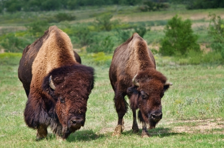 Bull and cow buffalo or American bison photo