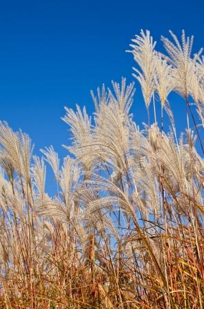 Graziella Maiden Grass (miscanthus sinensis) in autumn against deep blue sky Stock Photo