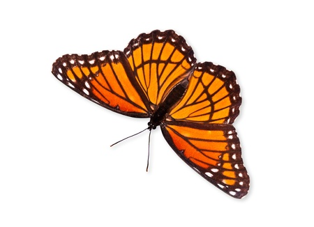 closely: Viceroy butterfly  Limenitis archippus  isolated over white  Viceroy is often mistaken for Monarch butterfly because it resembles Monarch very closely  Stock Photo