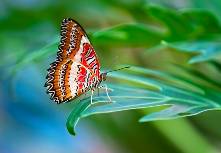 Leopard Lacewing butterfly perched on a leaf