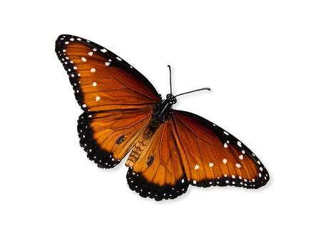 Queen butterfly  Danaus gilippus Stock Photo - 16565587