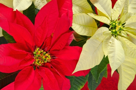 Red and cream colored poinsettia flowers (Euphorbia pulcherrima)