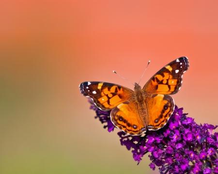 vanessa: American Lady (Vanessa virginiensis) butterfly feeding on butterfly bush flowers