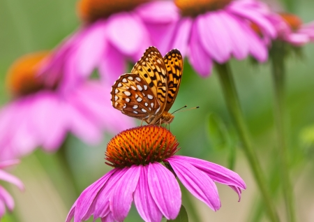 Fritillary butterfly feeding on coneflower