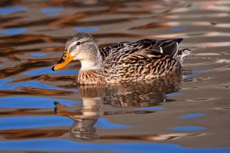 Female Mallard duck swimming in smooth water with blue and golden glow reflections