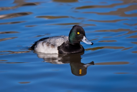 scaup: Male Lesser Scaup (Aythya affinis) duck and reflections in deep blue water Stock Photo