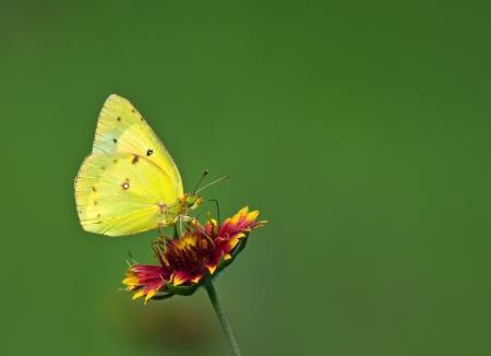 Orange Sulphur (Colias eurytheme) butterfly feeding on Indian Blanket flower