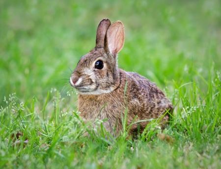 庭の草を食べてワタオウサギ ウサギ