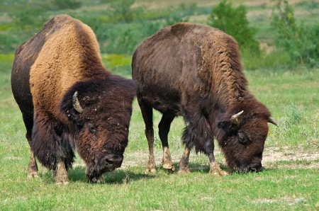 Bull and cow bison grazing on the meadow photo