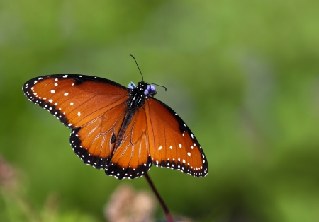 Queen butterfly (danaus gilippus) feeding on Gregg's Mist flowers against green background photo