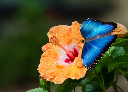 Blue Morpho butterfly (Morpho peleides) on yellow orange hibiscus flower with water droplets Stock Photo