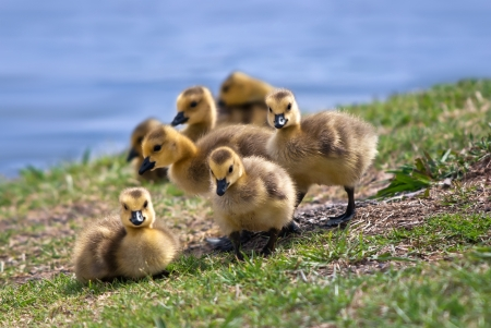 gosling: Canada goose goslings in the grass at lakeside Stock Photo