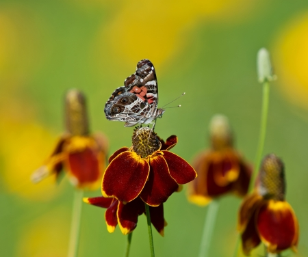 american butterflies: American Lady butterfly (Vanessa virginiensis) on Mexican hat flowers