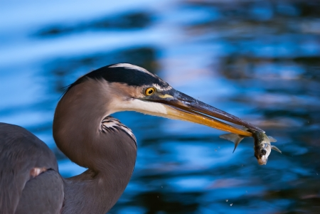 Great Blue Heron (Ardea herodias) catching a fish against blue water on the background photo