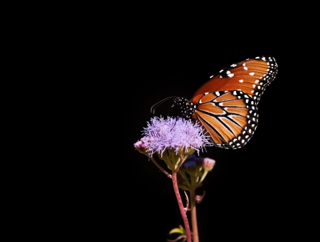 Queen butterfly (danaus gilippus) feeding on Gregg's Mist flowers against black background photo