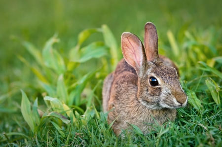 Cute looking cottontail bunny rabbit eating grass in the garden Stock Photo