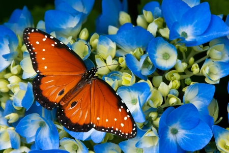 Queen butterfly (danaus gilippus) on blue hydrangea flowers