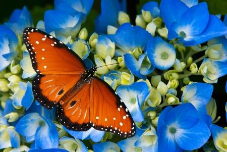Queen butterfly (Danaus gilippus) op blauwe hortensia bloemen