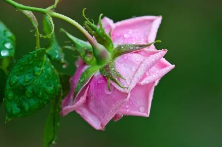 Pink rose with water droplets against green background