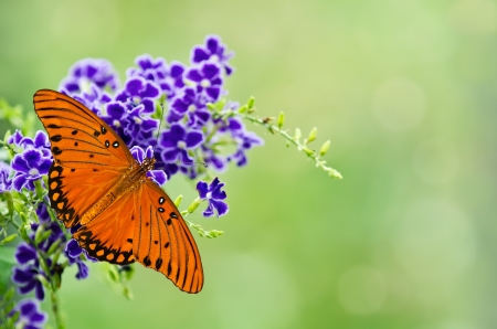 Gulf Fritillary butterfly (Agraulis vanillae) on purple flowers Stock Photo