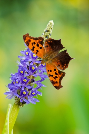 Question Mark butterfly (Polygonia interrogationis) on Pickerelweed (Pontederia cordata) flowers photo
