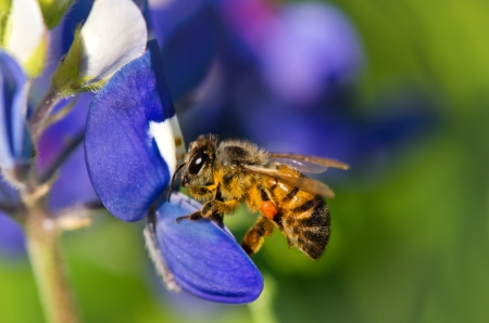 bee on flower: Bee collecting pollen from Texas bluebonnet flowers
