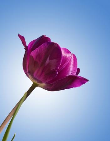 blue tulip: Purple tulip against blue sky