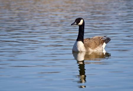 canada goose: Canada Goose (Branta canadensis) swimming in the lake