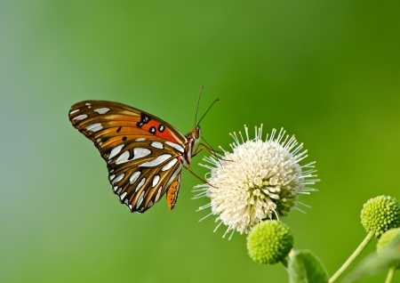 Gulf Fritillary butterfly (Agraulis vanillae) feeding on buttonbush flower Stock Photo