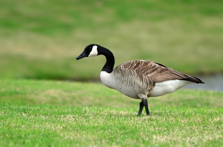 canada goose: Canada Goose strolling in the grass Stock Photo