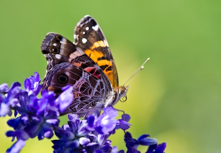 salvia: American Lady butterfly (Vanessa virginiensis) with curled proboscis or straw on Salvia flowers  Stock Photo