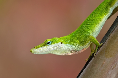 Green Anole lizard (Anolis carolinensis) peeking out of tree trunk