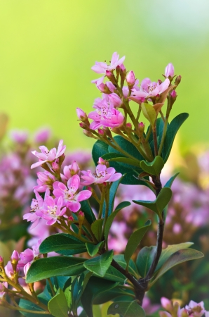 botanica: Pink spring flower blossoms in soft early morning light