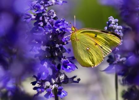 紫の蝶ブッシュ花疑問符蝶 (ギモンフタテハ) の写真素材・画像素材 ...