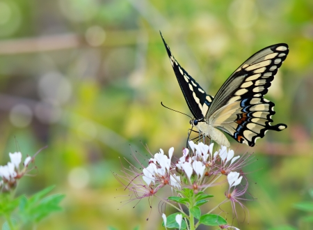 Giant Swallowtail butterfly (Papilio cresphontes) feeding on wildflowers