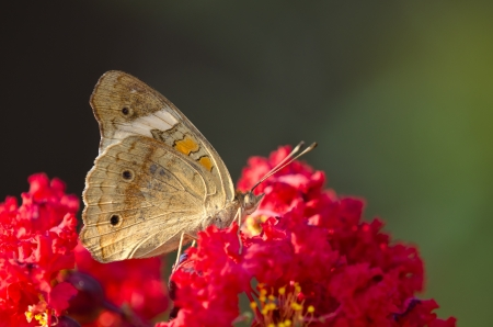 buckeye: Common Buckeye butterfly (Junonia coenia) on red flowers, ventral view