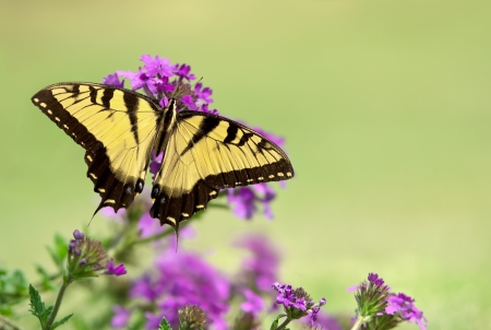 dorsal: Eastern Tiger Swallowtail butterfly (Papilio glaucus) feeding on purple flowers