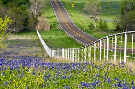 bluebonnet: Bluebonnets and yellow wildflowers along the side of the rolling road with white fence in Texas Stock Photo