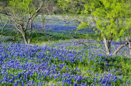 Bluebonnets, the state flower of Texas, blooming in the spring