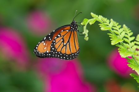 Queen butterfly (danaus gilippus) hanging on leaf against green and purple background photo
