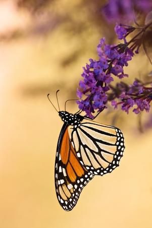 Monarch butterfly (Danaus plexippus) feeding on purple butterfly bush flowers, ventral view photo