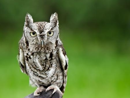 megascops: Ritratto di Screech Owl (Megascops ASIO), contro liscio sfondo verde, lo spazio di copia