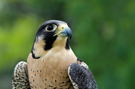 falco peregrinus: Portrait of Peregrine Falcon (Falco peregrinus), aka Duck Hawk, the fastest animal on earth
