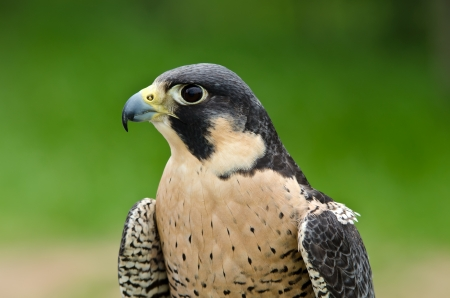 Portrait of Peregrine Falcon (Falco peregrinus), aka Duck Hawk, the fastest animal on earth